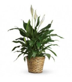 Peace Lily - Spathiphyllum Plant