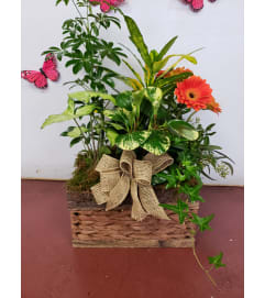 Gerbera planter