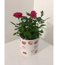 Valentine's Day Mini Paradise Rose