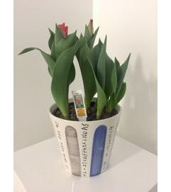 Valentine's Day Tulips