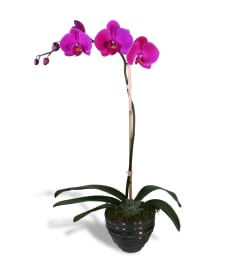 Simple Purple Orchid 2020