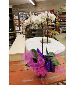 Orchid with Bow and Wrap
