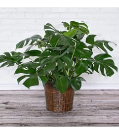 Split-Leaf Philodendron Monstera Plant