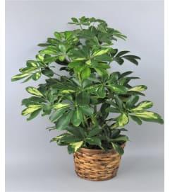 Arboricola (Schefflera)