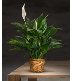 Spath-Peace Lily Plant