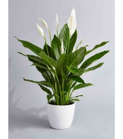 Peace Lily in a Ceramic