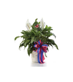 Sympathy Classic Peace Lily Plant In Basket