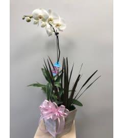 Phalaenopsis Orchid Garden