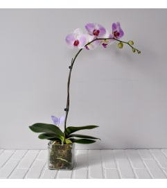 Orchid Plant in Glass Cube