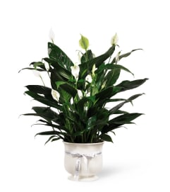 Peace Lilly Comfort Planter