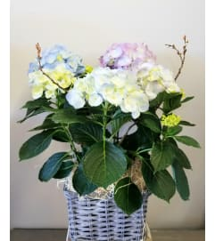 Easter Hydrangea Plant