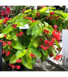 Canary Wing Begonia Hanging Basket