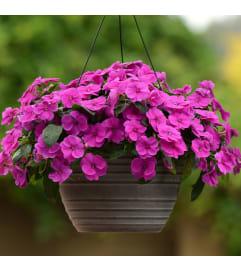 Sunpatiens Hanging Basket