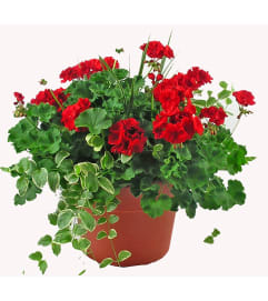 "Mixed Geranium Pot -15"" Pot"