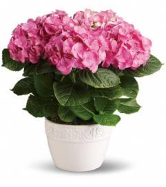 Pink Hydrangia Plant