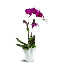 Royal Purple Orchids