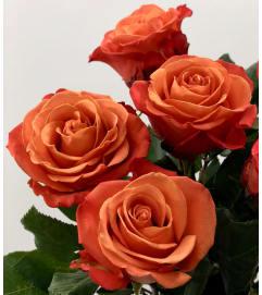 Two Dozen Premium Orange Roses