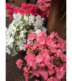 Azaleas - Locally grown