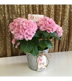 Hydrangea in Galvanized Mom Pot