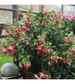 Fuchsia Hanging Basket by Rothe's