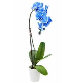 ELEGANT BLUE ORCHID