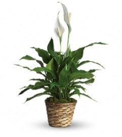 Ellington's Peace Lily