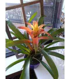 Bromeliad Orange Plant