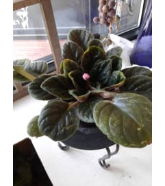 4 Inch African Violet Plant