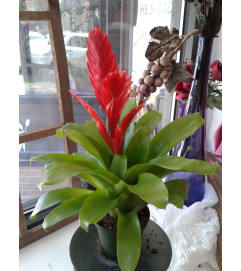 Bromeliad Red Blooming Plant