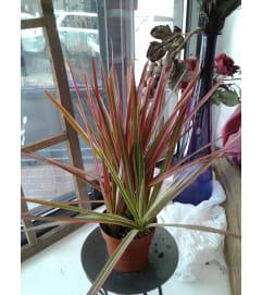 Marginata Dracaena Plant