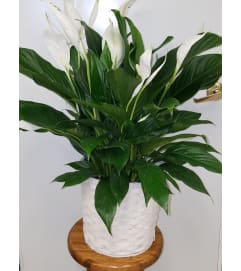 Peace lily paradise