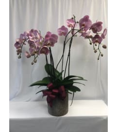 Large Orchid in Cement Planter