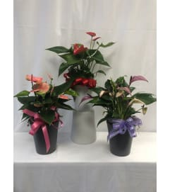 Small Anthurium Plant