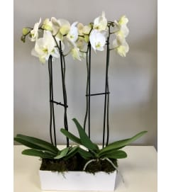 Stunning Double White Orchid