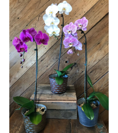 Tropical Blooming Orchid
