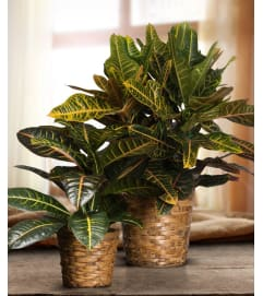 Croton in Basket