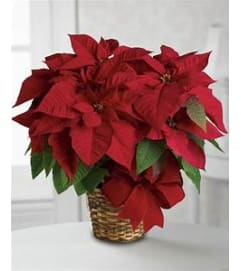 7 Inch Red Poinsettia