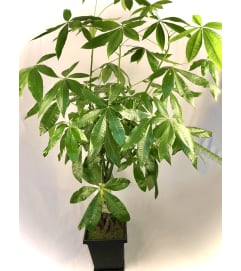 Money Tree in Plastic Pot