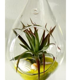 Seascape Tillandsia