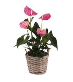 PINK OR RED ANTHURIUM IN WICKER BASKET