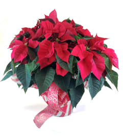 Classic Holiday Poinsettia - Red