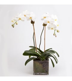 A magnificent double Orchid