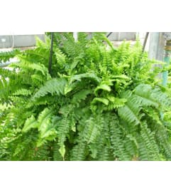 BOSTON FERN - green PLANT