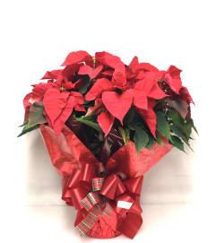 Christmas Poinsettia 6