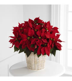 Red Poinsettia Plant in Basket