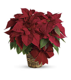 Christmas Poinsettia Plant