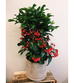 Amazing Ardisia (in Italian Terracotta)