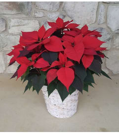 Christmas Poinsettia In a Basket