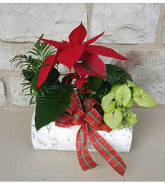 Christmas Poinsettia Birch Planter
