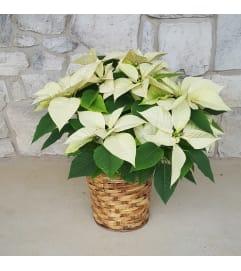 White Christmas Poinsettia In a Basket